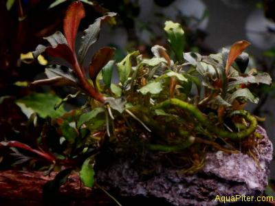 Буцефаландра Bucephalandra sp. Black Mist