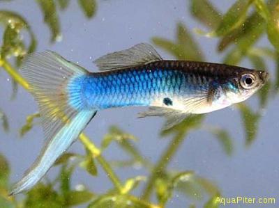 Гуппи Японский голубой меч самцы (Шри-Ланка)