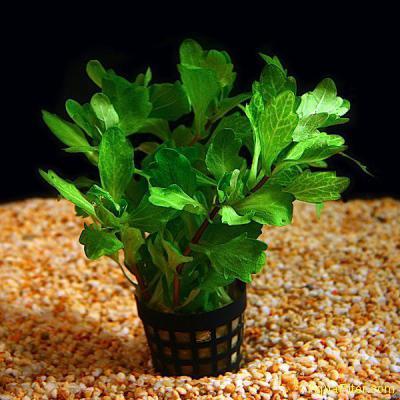 Дубок мексиканский (Shinnersia rivularis)
