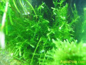 Willow Moss (Fontinalis antipyretica) Ивовый мох