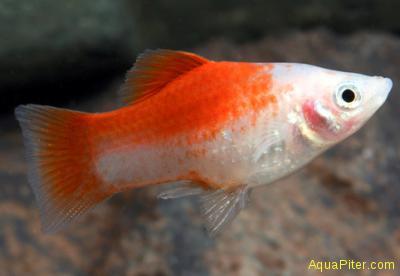 Пецилия Биколор (бело-красная)