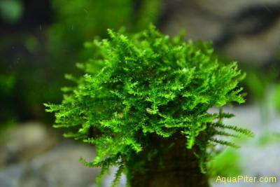 Сингапур мох Singapore Moss
