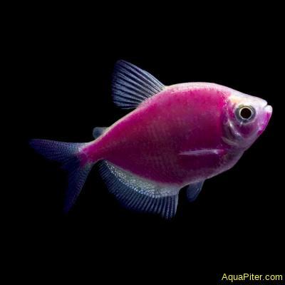 Тернеция (GloFish) Ежевичная Светящаяся