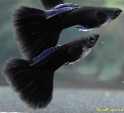Гуппи Чёрный принц (самцы) Poecilia reticulata