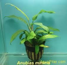 Анубиас минима ANUBIAS SPECIES (MINIMA)