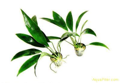 Анубиас ланцетный (Anubias lanceolata)