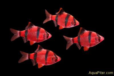 Барбус суматранский КРАСНЫЙ (GloFish) светящийся