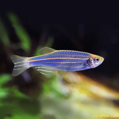 Данио рерио (GloFish) Синий светящийся