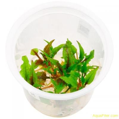 Криптокорина вендта Грин Геккон (Cryptocoryne Wendtii Green Gecko), меристемное