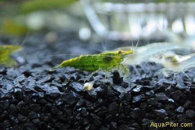 Креветка Зеленый Нефрит  Neocaridina heteropoda Green Jade