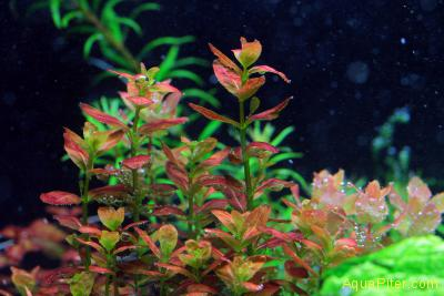 Куфея Cuphea anagalloidea