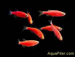 Данио рерио (GloFish) Красный светящийся