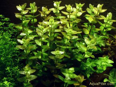 Бакопа каролинская (Bacopa caroliniana), с грузом