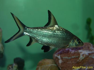 Барбус акулий (Balantiocheilus melanopterus)