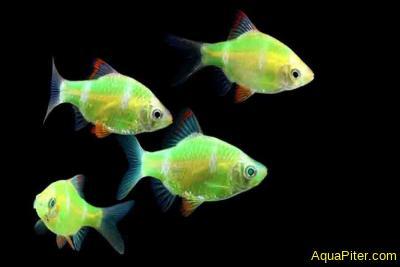Барбус суматранский светящийся альбино (GloFish)