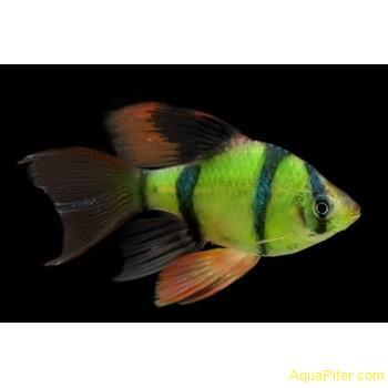 Барбус суматранский светящийся вуалевый (GloFish)
