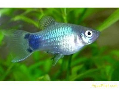 Пецилия голубой микки маус (Xiphophorus maculatus)