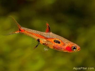Микрорасбора Мера (Boraras merah)