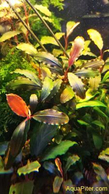Буцефаландра Bucephalandra sp. Shine blue