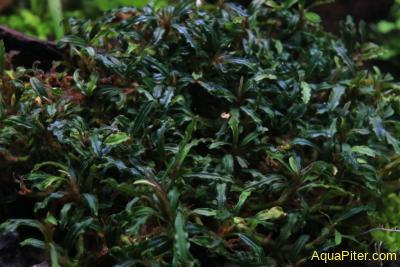 Буцефаландра Bucephalandra sp. Mini Catherinae