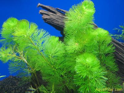 Кабомба каролинская спец. качества (Cabomba caroliniana (special) green)