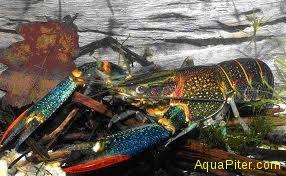 Австралийский красноклешневый рак (cherax quadricarinatus)
