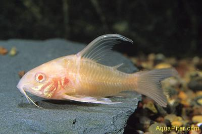 Коридорас альбинос вуалевый (Corydoras paleatus albino long-finned)