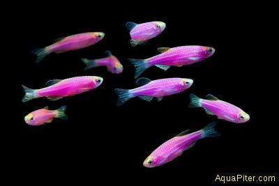 Данио рерио (GloFish) Пурпурный светящийся