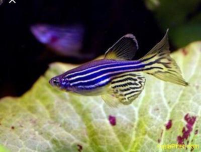 Данио рерио фиолетовый светящийся (GloFish)