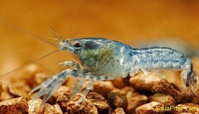 Рак карликовый синий (Cambarellus diminutus)