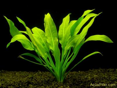 Эхинодорус амазонский (Echinodorus amazonicus)