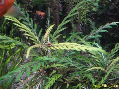 Гигрофила перистонадрезанная  Hygrophila pinnatifida