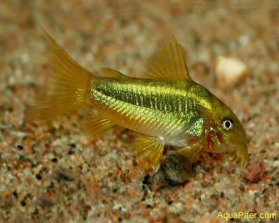 Коридорас Голд Страйп Coridoras aeneus Neon-gold-stripe (Gold Laser Cory)
