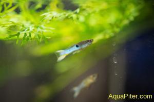 Гуппи эндлера Японские голубые Japan blue