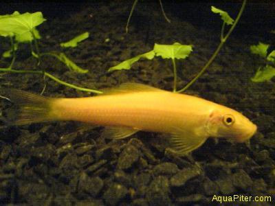 Гиринохейл золотой (Gyrinocheilus aymonieri gold)
