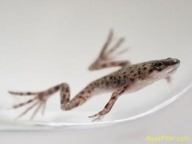 Лягушка карликовая (Under water Dwarf Frog)