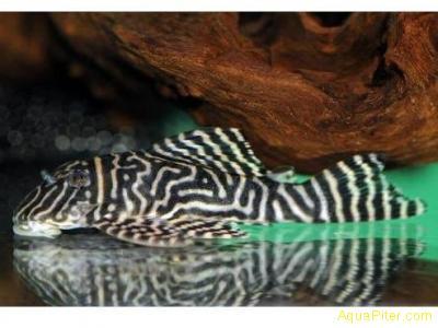 L-401 Гипанциструс золотая зебра (Hypancistrus sp. L 401 Rio Curua Pleco)