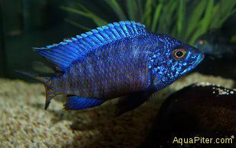 Аулонокара Голубая ньясса