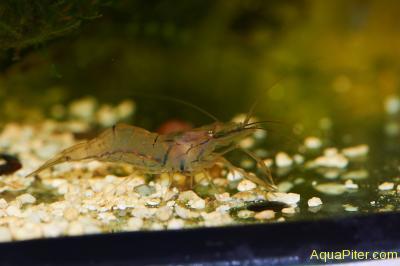 Индийская стеклянная креветка Indian glass shrimp