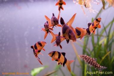 Боция клоун Botia macracanthus
