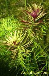 Лимнофила ароматика Limnophila aromatica