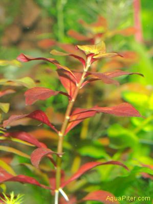 Людвигия ползучая Рубин (Ludwigia repens 'Rubin')