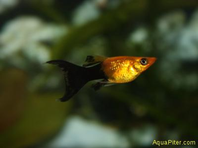 Моллинезия Черное золото лирохвостая Lyretail Gold-Black Molly (Poecilia Sphenop