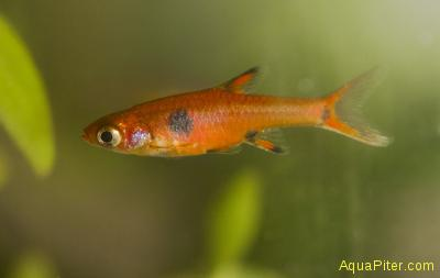 Микрорасбора макулата (Rasbora maculata)