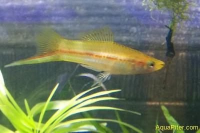 Меченосец янтарный (желтый, ананасный, лимонный) Xiphophorus helleri