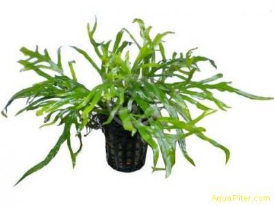 Папоротник Тридент (Microsorium sp. Trident)