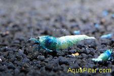Креветка Сaridina cf. cantonensis Taiwan bee Blue Bolt (BB)