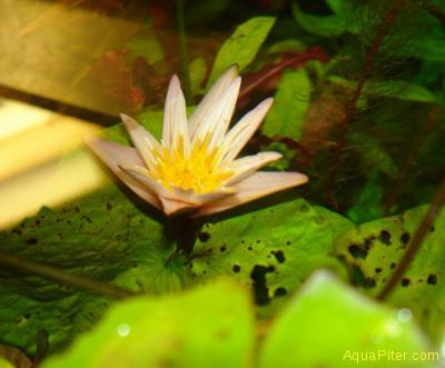 Нимфея Рудге (Nymphaea rudgeana)