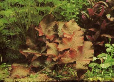 Нимфея стеллата (Nymphaea Stellata)