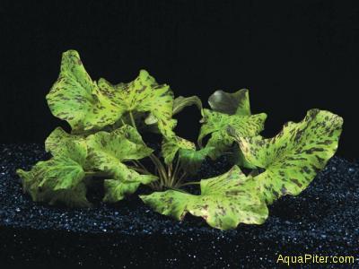 Нимфея Тигровый Лотос зеленый Nymphaea tiger lotus 'green'
